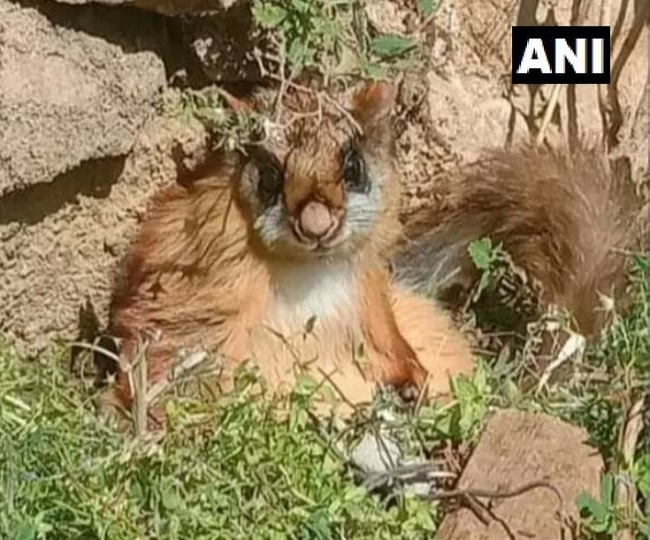 Woolly flying squirrel, presumed extinct around 70 years ago, spotted in Uttrakhand's Gangotri National Park