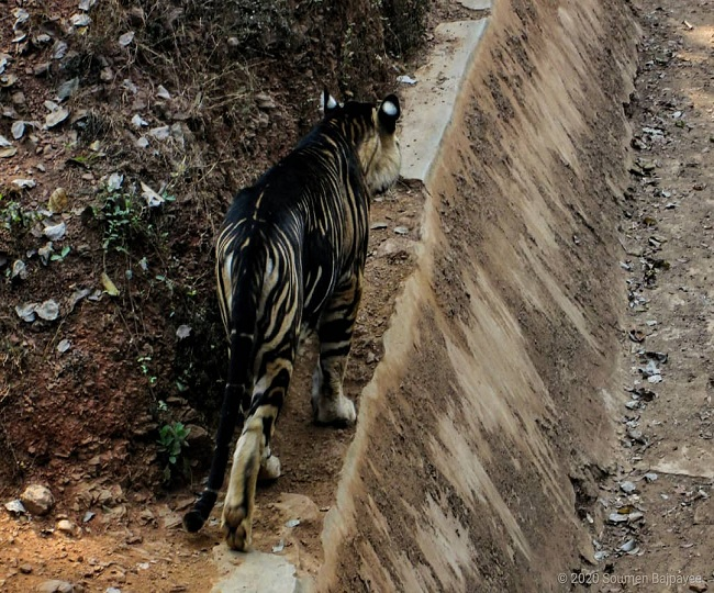 Rare black tiger nearing extinction spotted in Odisha's Simlipal National Park   See Pics Inside