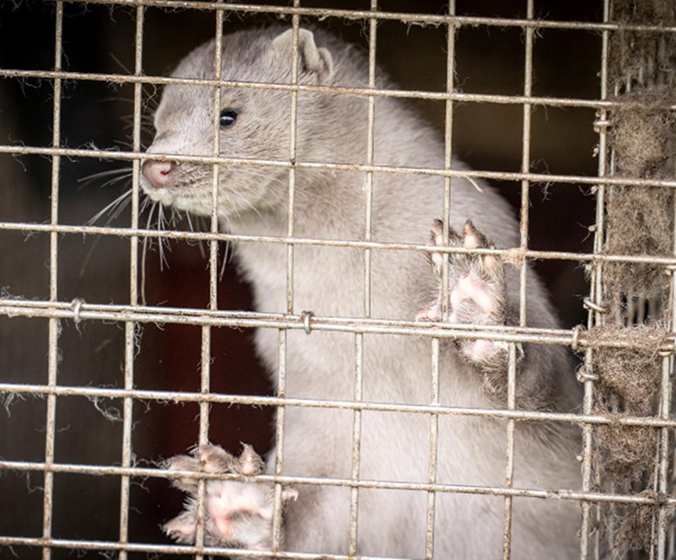 'Too early to judge': WHO on Denmark's decision to cull all farmed minks over coronavirus fears