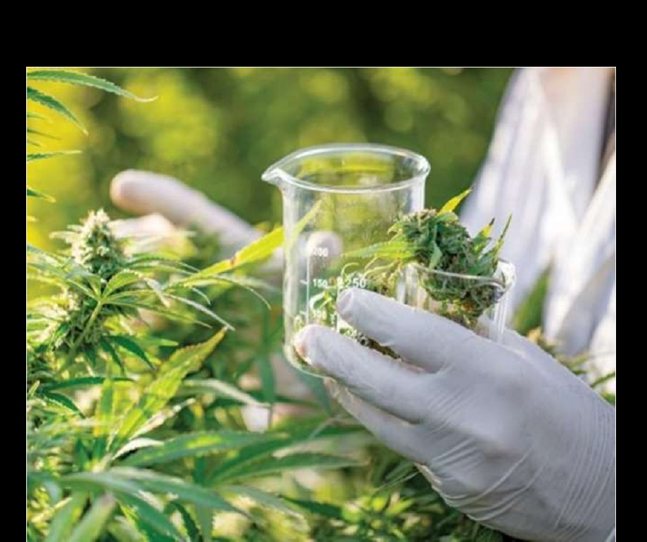 Cannabidiol, a Marijuana compound, can help reduce lung damage caused by COVID-19; here's how