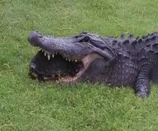 This is what happened when an alligator tried to eat a 'hard-shelled' turtle | Watch