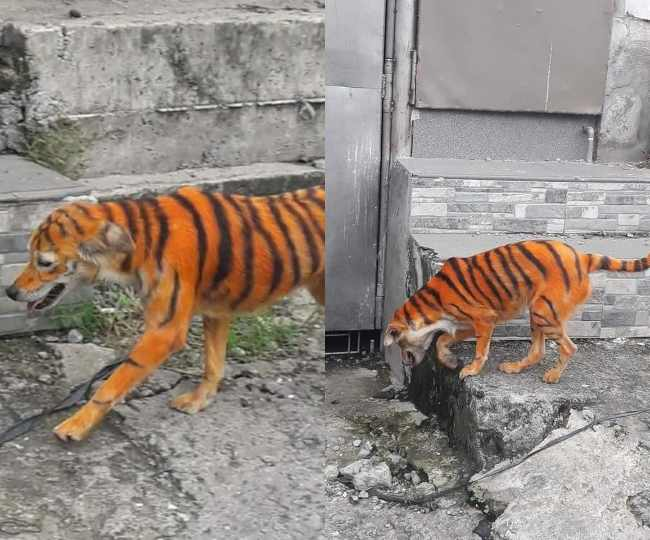 Woof or Roar? Stray dog in Malaysia painted black & orange to look like a tiger, netizens feel sorry