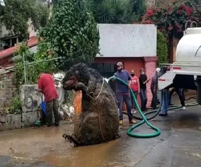 Bizarre: 'Gigantic Rat' larger than human body found in Mexico city's drains | Watch shocking video here