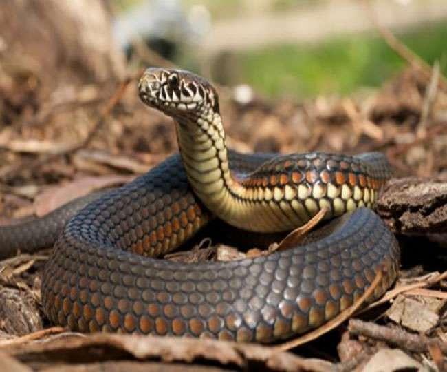 Bizarre! Bihar man chews snake after getting bitten by it; dies of intoxication