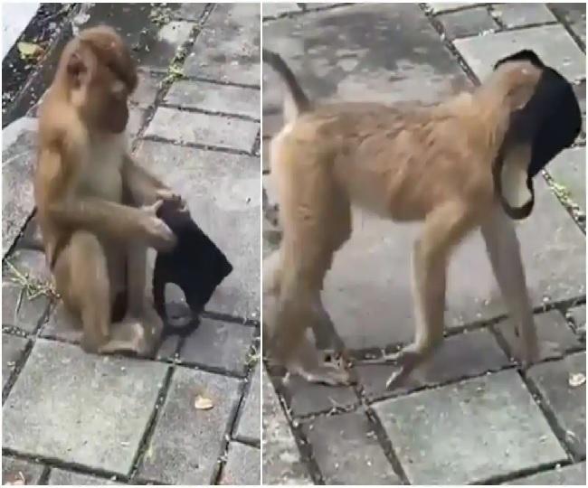 'Smarter than humans': Netizens react as monkey stuns everyone by wearing mask   WATCH