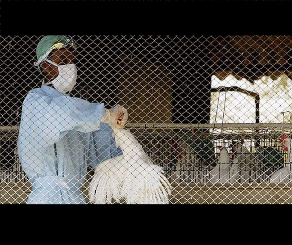 Bird Flu Mythbuster: Is it safe to consume eggs, chicken amid outbreak | All you need to know
