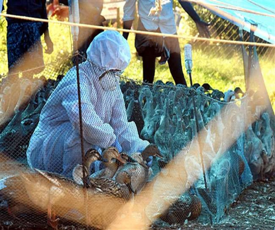 Bird Flu Outbreak: Delhi, Maharashtra confirm avian flu; know its symptoms, precautions and causes here