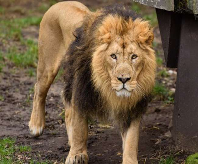 Lioness dies of suspected COVID-19 in Chennai's Vandalur Zoo; 8 other big cats found infected