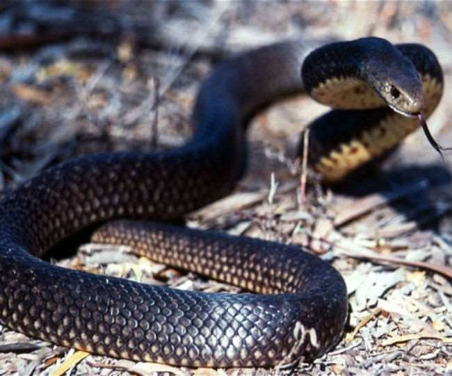 Venom of Brazilian Viper may become tool in fight against COVID-19: Study