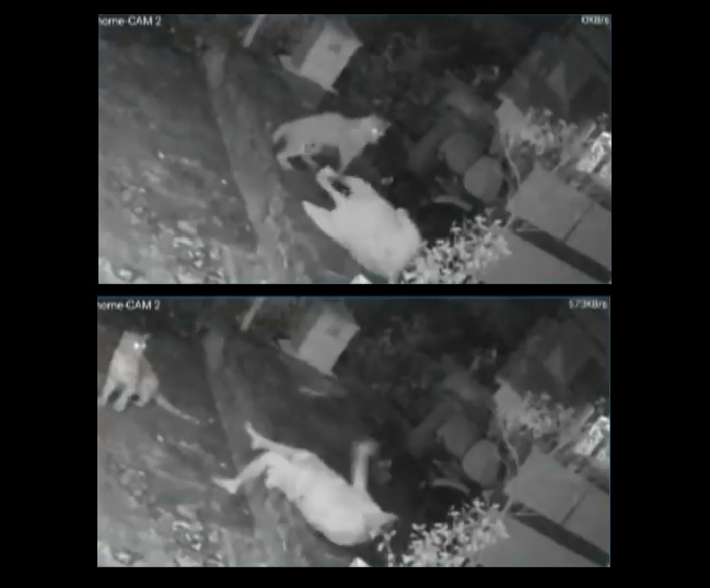 Caught on Camera: Woman attacked by leopard in Mumbai's Goregaon; 3rd such incident in Aarey Colony in a week